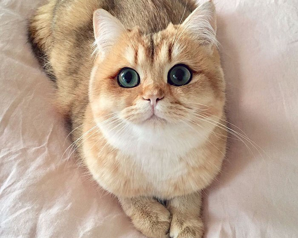 Gatto golden british shorthair