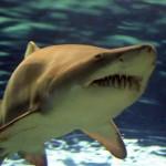 Un altro squalo pericoloso: lo squalo toro
