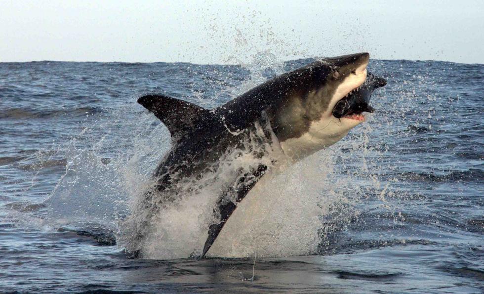 Scopri l'etogramma dello squalo bianco in Sud Africa