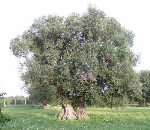 Scopri i tesori calabresi: ulivo, bergamotto e liquirizia