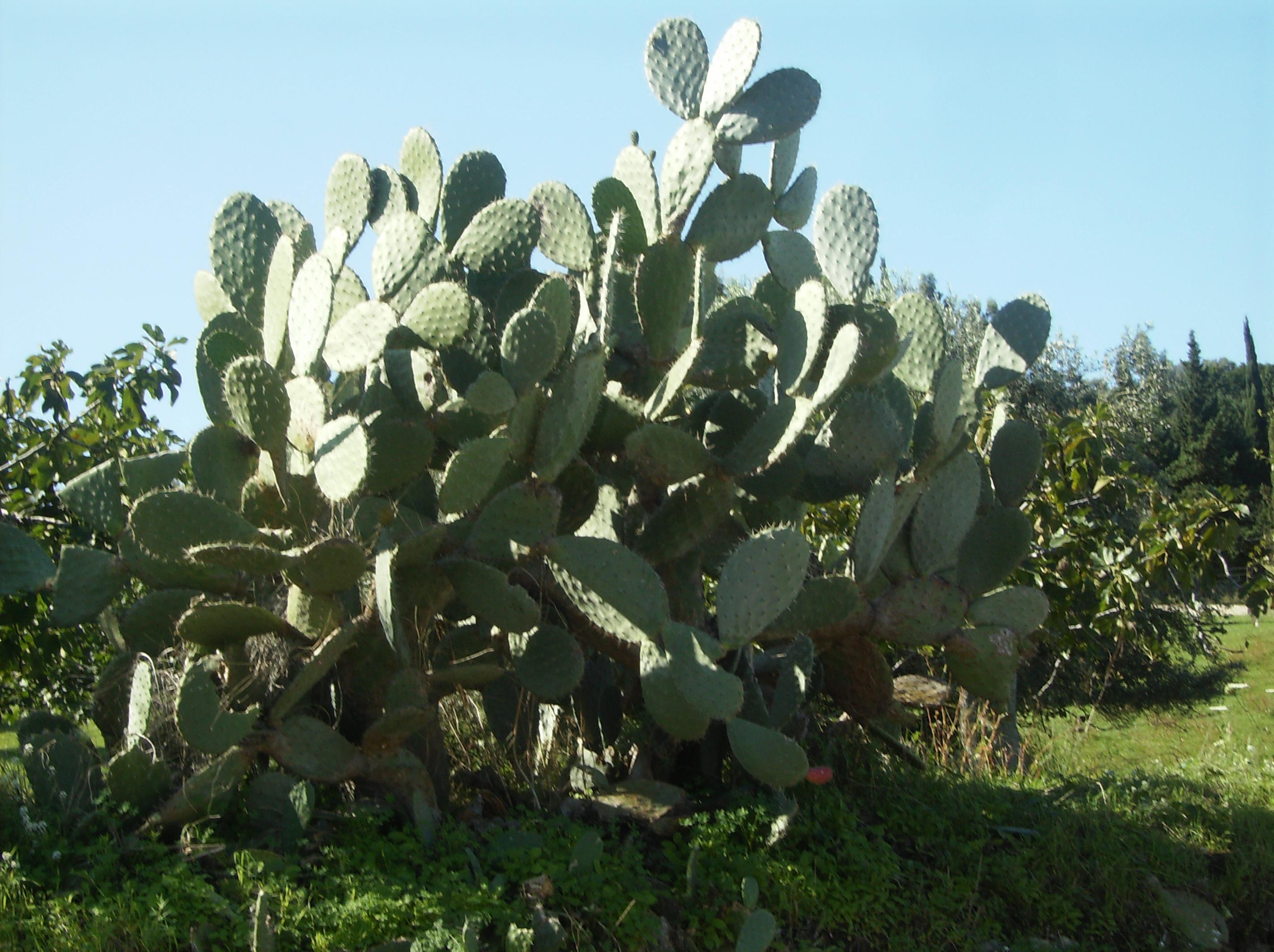 Riconoscere l'Opuntia ficus-indica.