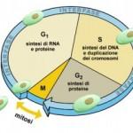Leggi l'articolo per saperne di più sul ciclo cellulare.