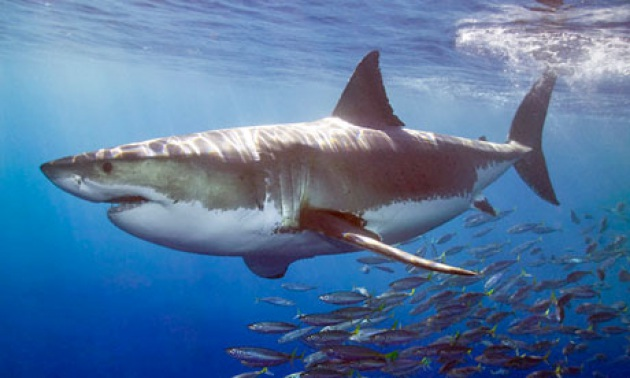 Presentazione dello squalo bianco.