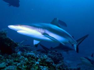 Scopri di più sullo squalo più facile da osservare negli acquari.