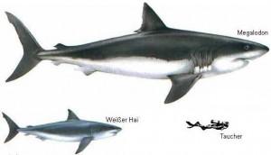 Lo squalo bianco e il suo cugino estinto: il Megalodonte