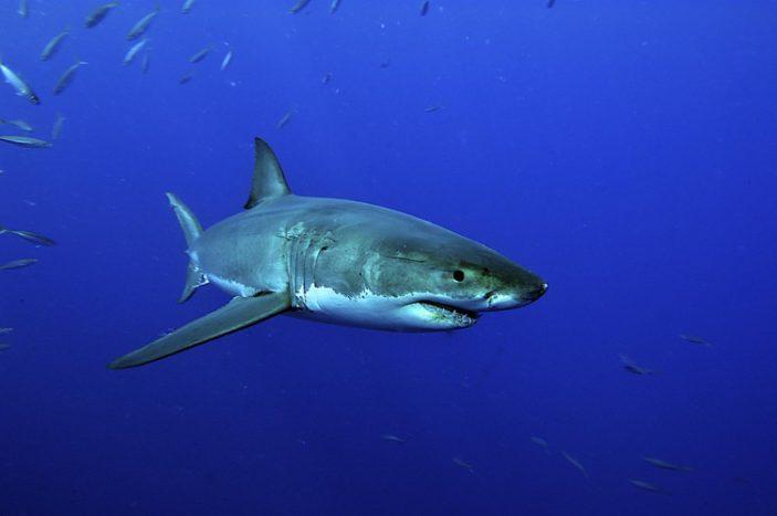 La dieta dello squalo bianco.
