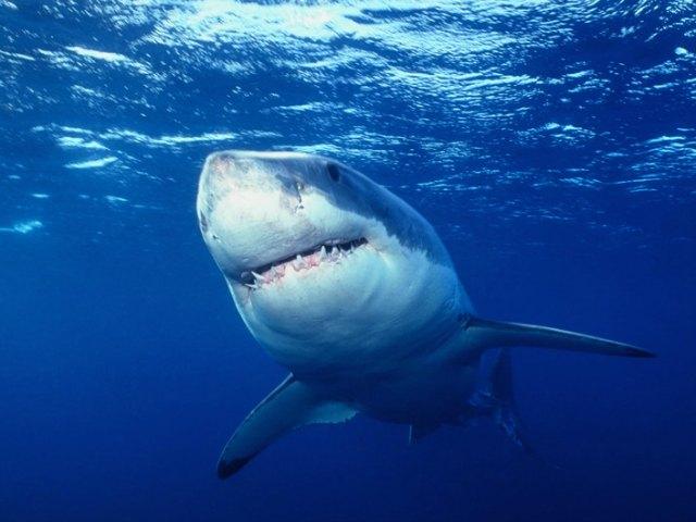 Guida allo squalo bianco.
