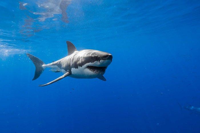 Lo squalo bianco.