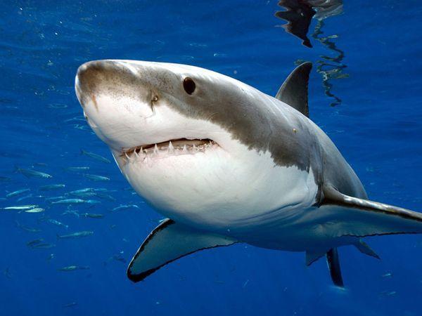 Le strategie alimentari dello squalo bianco.