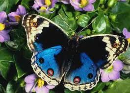 Farfalle e farfalle: e i giardini si colorano