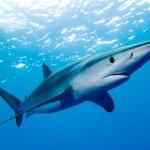 Lo squalo azzurro o verdesca.
