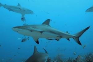Gli squali sono presenti in tutti i mari italiani. E nei mari calabresi?