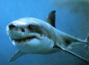il grande squalo bianco