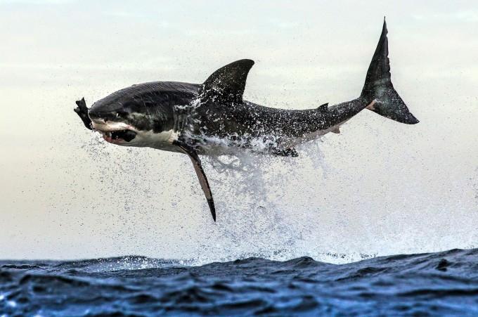 Lo squalo bianco salta fuori dall'acqua.