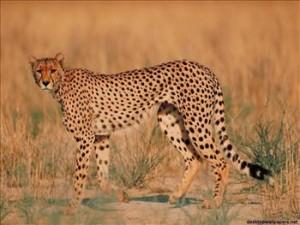 Uno tra gli animali più veloci del mondo: il ghepardo