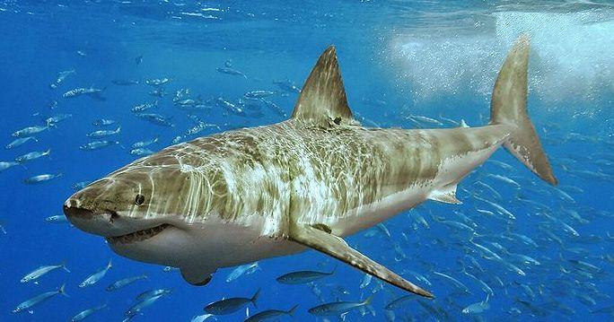 Ecco gli squali pericolosi.