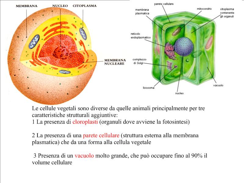 Differenze tra la cellula animale e quella vegetale.