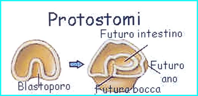 Differenze tra protostomi e deuterostomi.