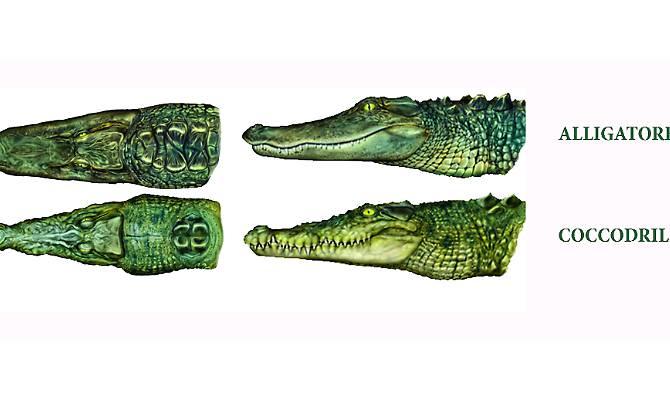 Differenze tra coccodrillo e alligatore.