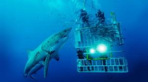 Scopri di più sull'alimentazione dello squalo bianco