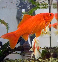 Qualche notizia sul pesce rosso