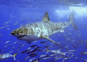 squali belli