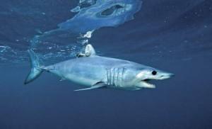 Qual è lo squalo più veloce?