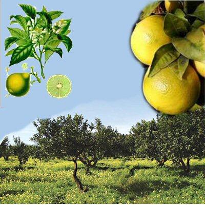 Il bergamotto, Citrus bergamia, è un tesoro calabrese unico al mondo per l'essenza utilizzata in vari settori.