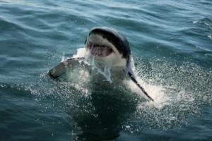 Quali sono i parenti più stretti dello squalo bianco?