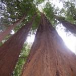 Scopri qual è l'albero più alto del mondo.