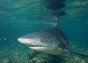 Come vengono classificati gli squali?