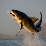 Ecco l'alimentazione dello squalo bianco