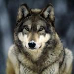 Il misterioso lupo appenninico