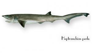 Squalo manzo di 5 metri pescato nel Mar Adriatico