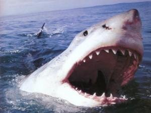 Cosa mangia lo squalo bianco?