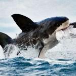 squali grandi