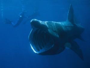 squalo elefante enorme