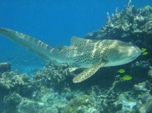 squalo leopardo bello