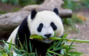La neve per i panda è uno spasso!