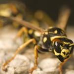 Il veleno della vespa brasiliana uccide le cellule tumorali