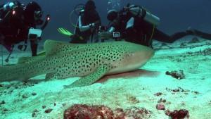 Resta un mistero come si orienta uno squalo