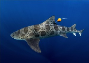 lo squalo leopardo