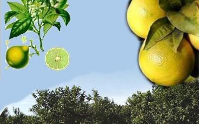 Il bergamotto riduce il colesterolo cattivo.