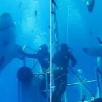 Ecco il più grande squalo bianco mai osservato prima.