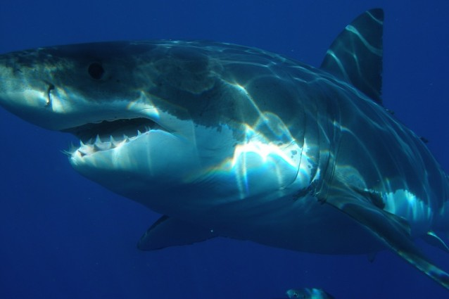 squalo pericoloso