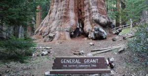alberi più alti del mondo