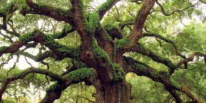 alberi più longevi