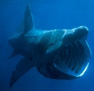 squalo elefante avvistato