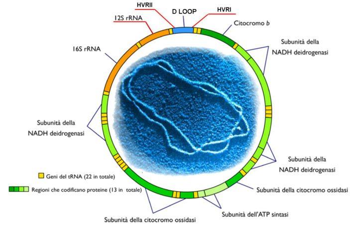 dna mitocondriale