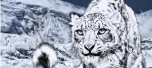 Leopardo delle nevi cosa sapere